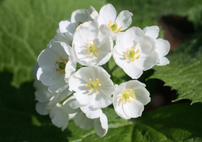 fiori-scheletro-Diphylleia-Grayi-petali-trasparenti-pioggia-05