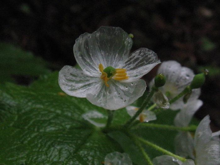 fiori-scheletro-Diphylleia-Grayi-petali-trasparenti-pioggia-06