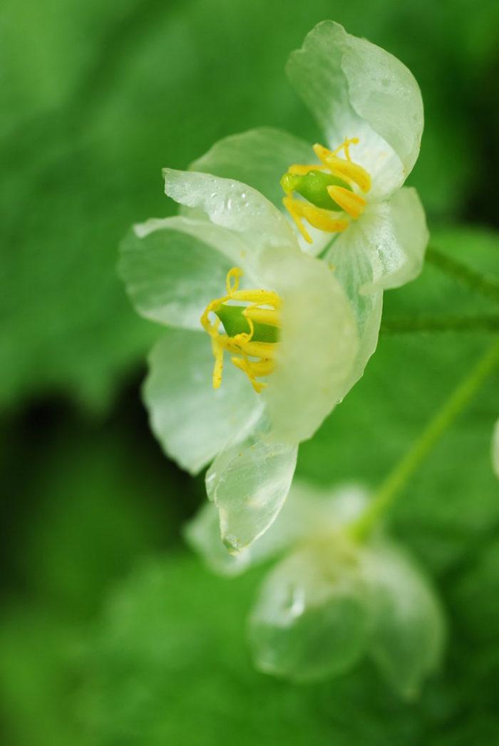 fiori-scheletro-Diphylleia-Grayi-petali-trasparenti-pioggia-07