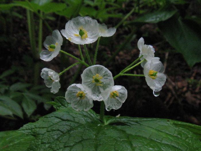 fiori-scheletro-Diphylleia-Grayi-petali-trasparenti-pioggia-08