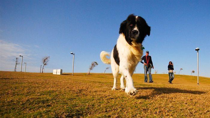 foto-cani-giganti-illusione-ottica-09