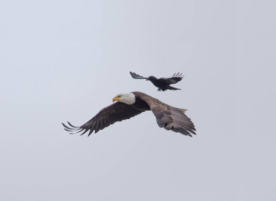 foto-divertenti-animali-corvo-cavalca-aquila-phoo-chan-1