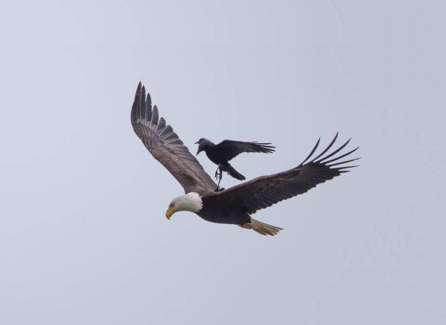 foto-divertenti-animali-corvo-cavalca-aquila-phoo-chan-2