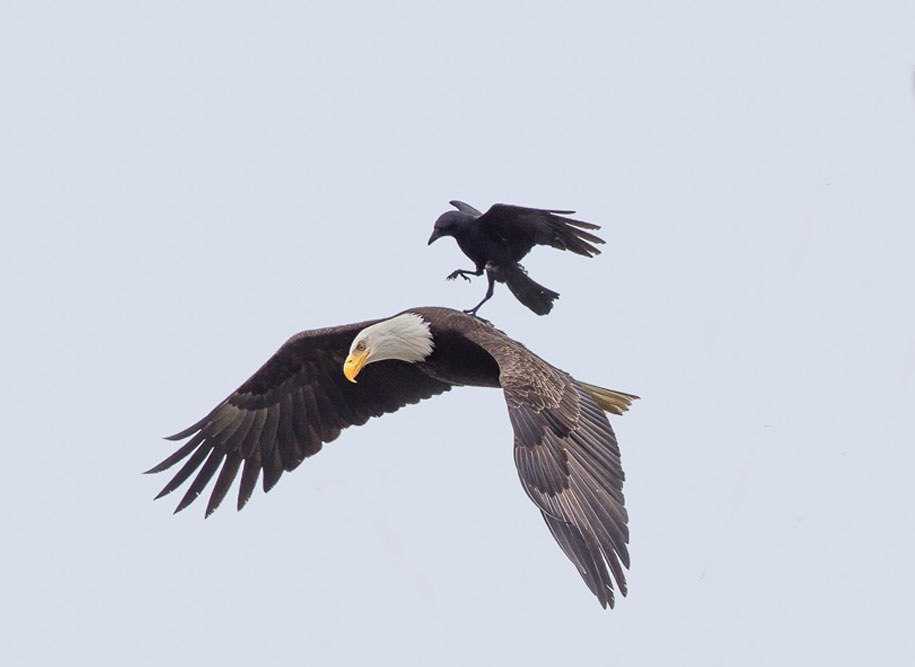 foto-divertenti-animali-corvo-cavalca-aquila-phoo-chan-3