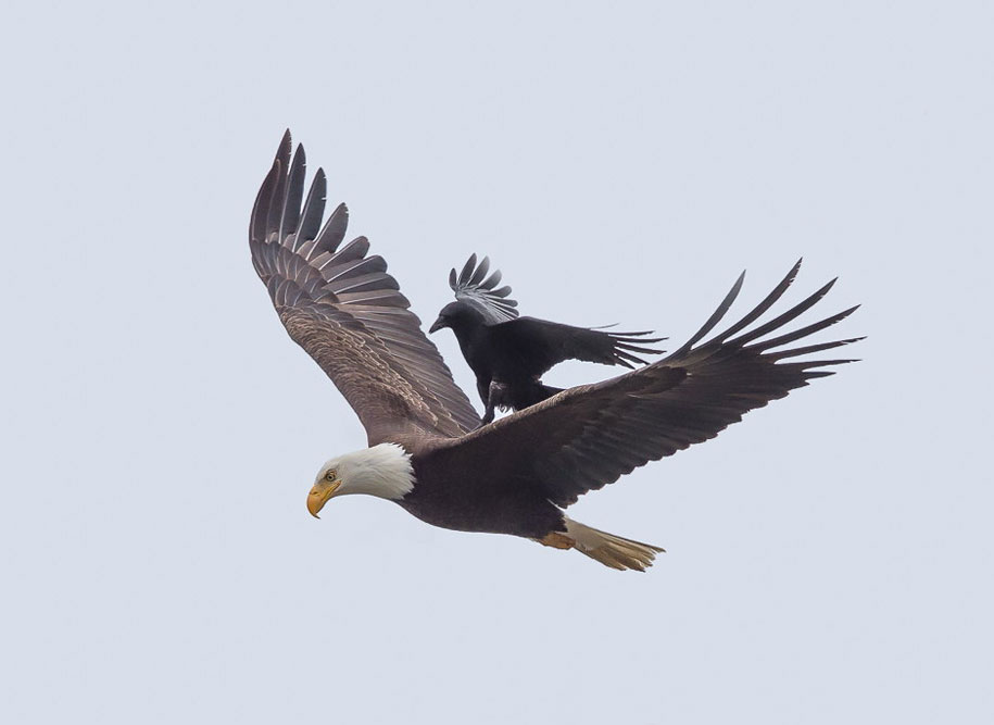 foto-divertenti-animali-corvo-cavalca-aquila-phoo-chan-4