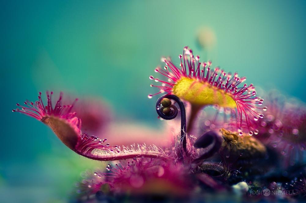 fotografie-macro-drosera-pianta-carnivora-joni-niemelä-1