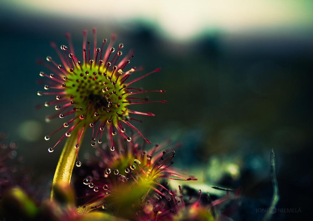 fotografie-macro-drosera-pianta-carnivora-joni-niemelä-5