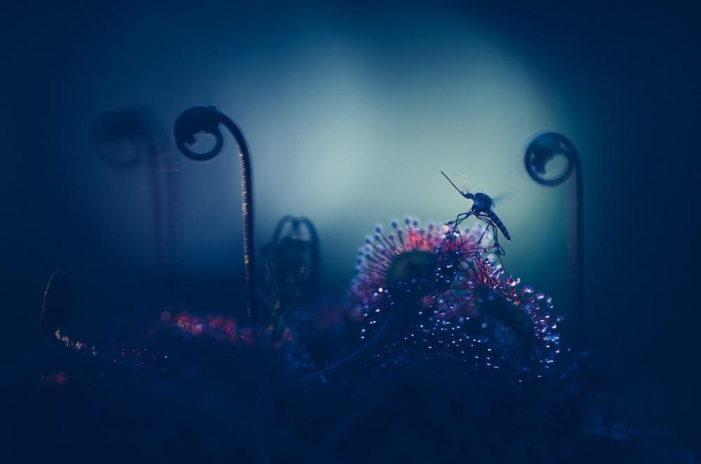 fotografie-macro-drosera-pianta-carnivora-joni-niemelä-8