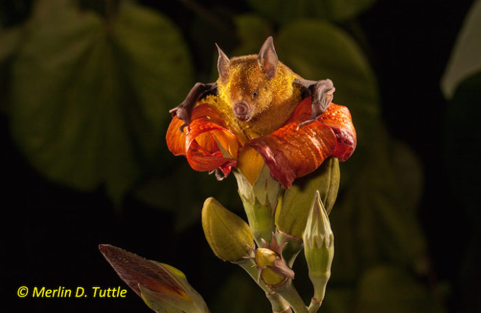 Cuban flower bat, Phyllonycteris poeyi, Phyllosomidae at Blue Mahoe Tree (Talipariti elatum; Malvaceae)