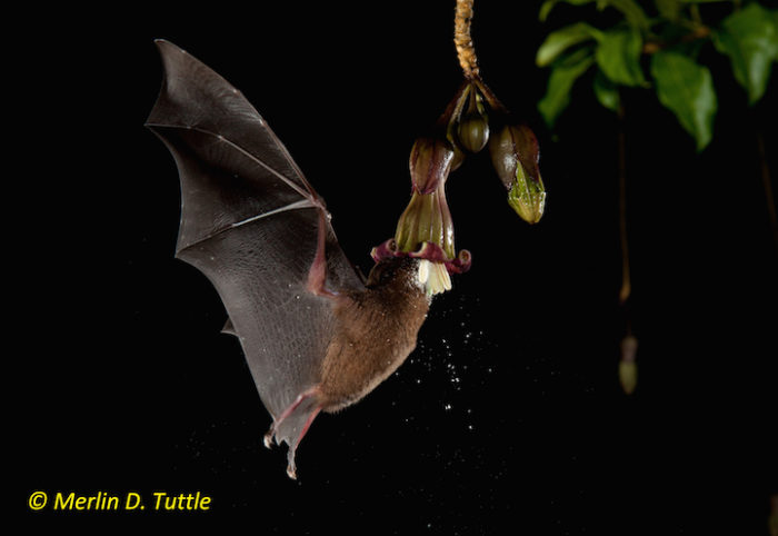Underwood's long-tongued bat (Phyllostomidae, Hylonycteris underwoodi) at  Merinthopodium neuranthum, Solanaceae