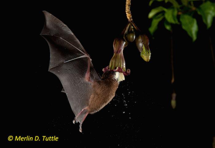 Underwood's long-tongued bat (Phyllostomidae, Hylonycteris underwoodi) at  Merinthopodium neuranthum, Solanaceae
