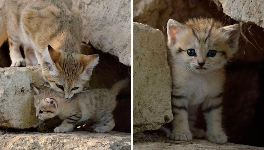 gatti-delle-sabbie-sempre-gattini-01