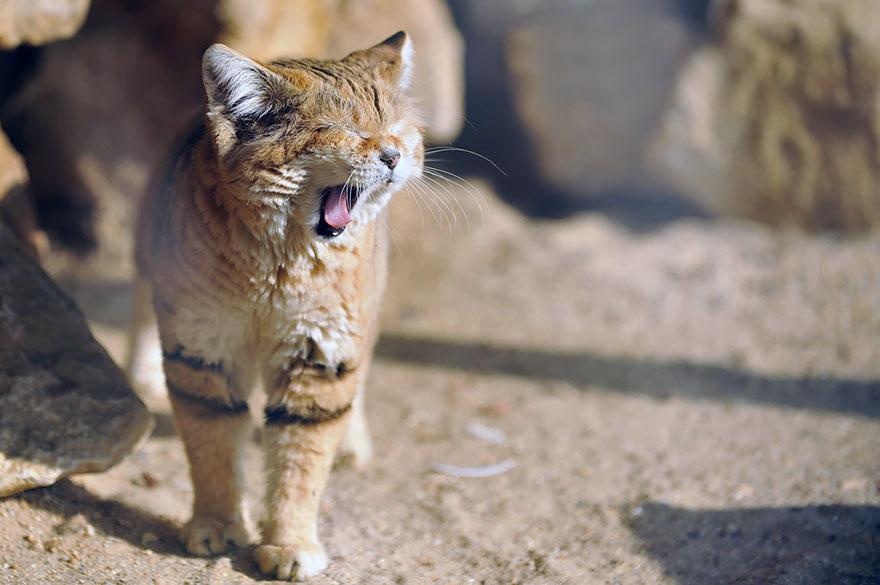 gatti-delle-sabbie-sempre-gattini-02