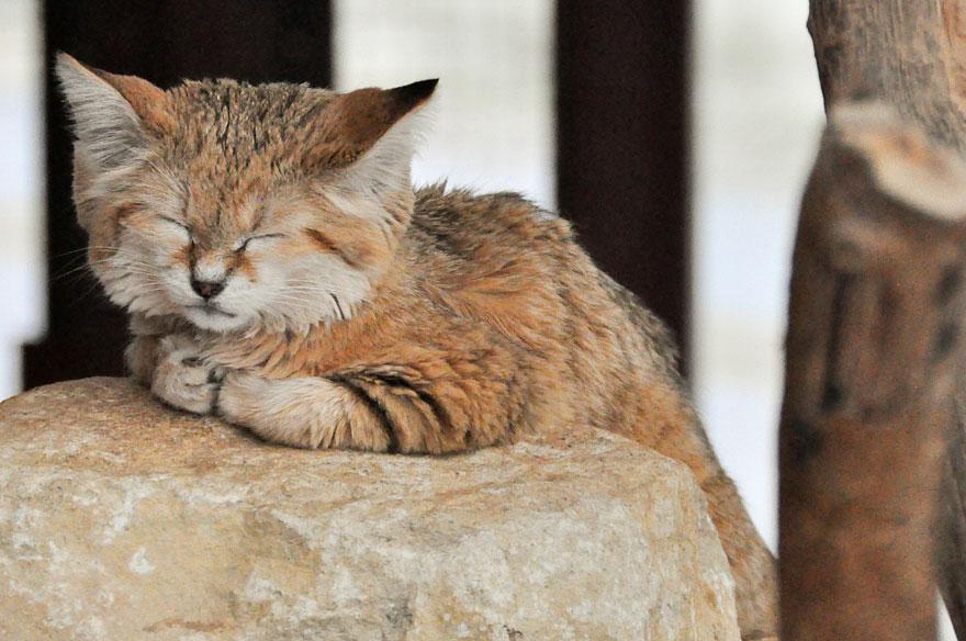 gatti-delle-sabbie-sempre-gattini-04