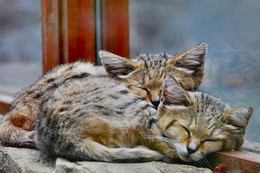 gatti-delle-sabbie-sempre-gattini-05