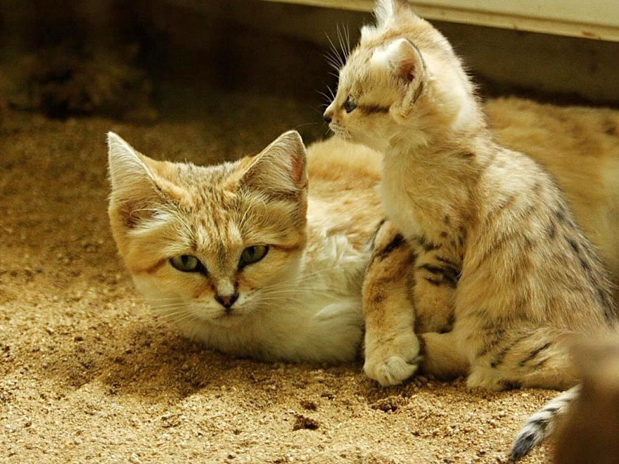 gatti-delle-sabbie-sempre-gattini-06