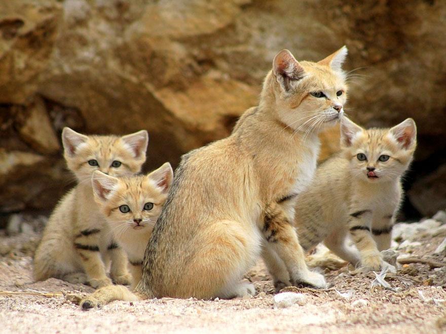 gatti-delle-sabbie-sempre-gattini-07