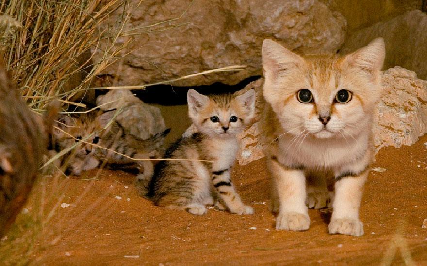 gatti-delle-sabbie-sempre-gattini-08