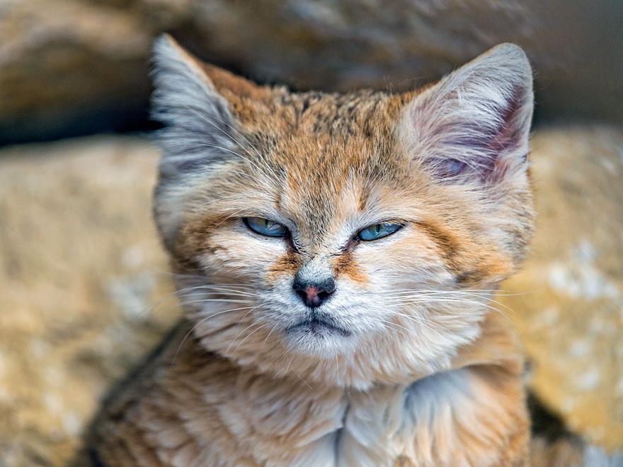 gatti-delle-sabbie-sempre-gattini-09