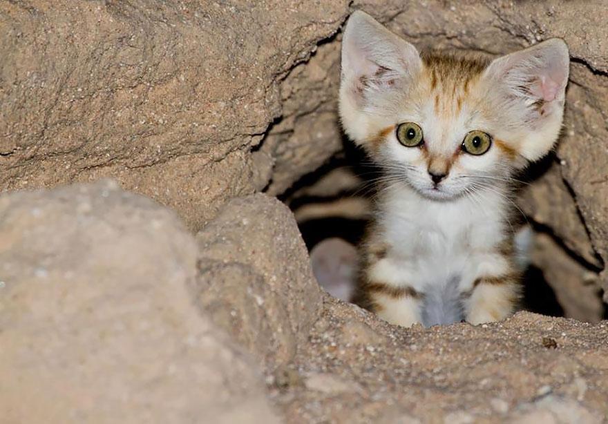 gatti-delle-sabbie-sempre-gattini-11