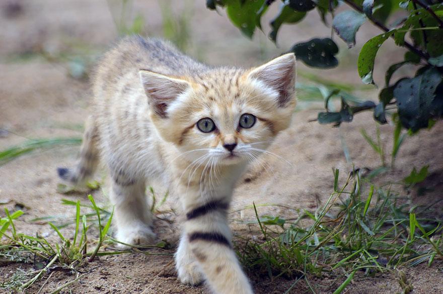 gatti-delle-sabbie-sempre-gattini-12