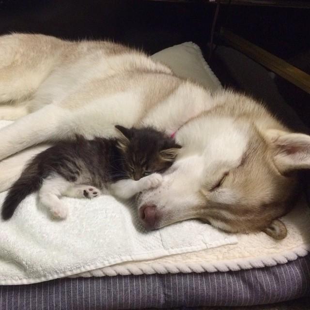 gattina-salvata-da-husky-mamma-04
