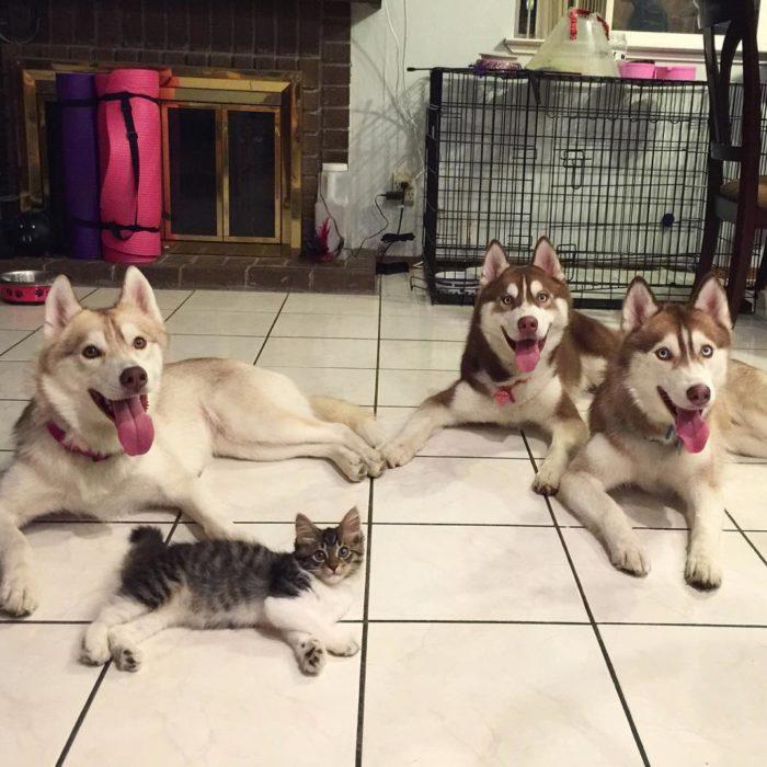 gattina-salvata-da-husky-mamma-05