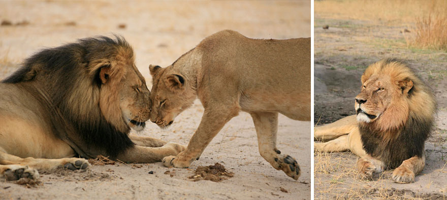 leone-ucciso-caccia-illegale-cecil-walter-palmer-dentista-01