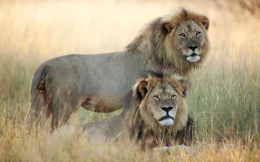 leone-ucciso-caccia-illegale-cecil-walter-palmer-dentista-02