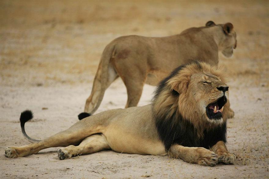 leone-ucciso-caccia-illegale-cecil-walter-palmer-dentista-03