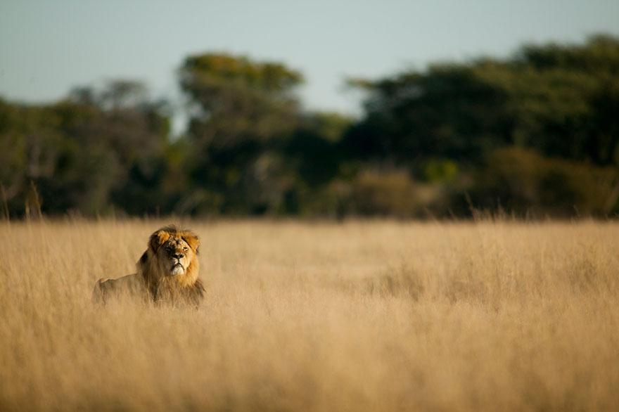 leone-ucciso-caccia-illegale-cecil-walter-palmer-dentista-04