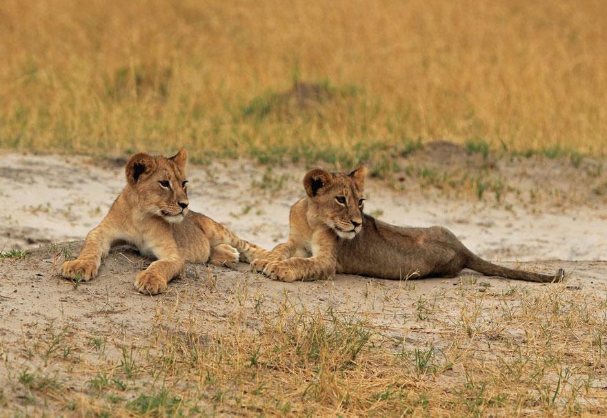 leone-ucciso-caccia-illegale-cecil-walter-palmer-dentista-06