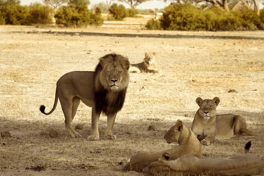 leone-ucciso-caccia-illegale-cecil-walter-palmer-dentista-09