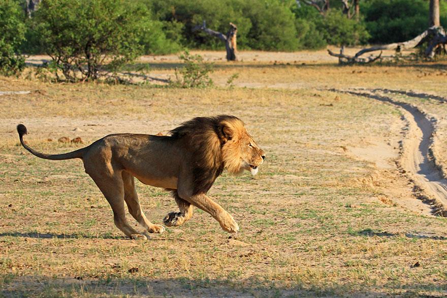 leone-ucciso-caccia-illegale-cecil-walter-palmer-dentista-11