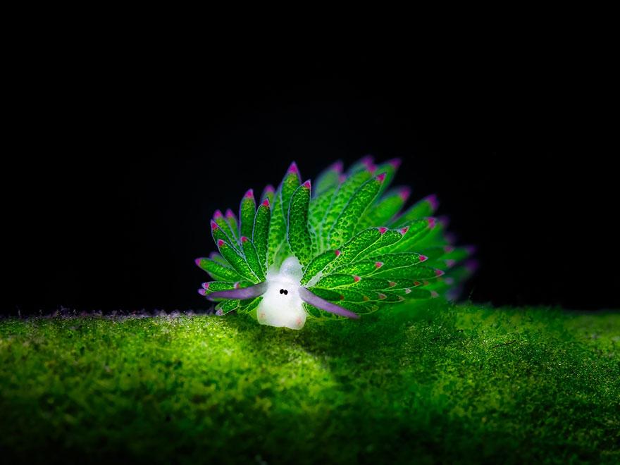 lumaca-mare-sembra-pecora-costasiella-kuroshimae-1