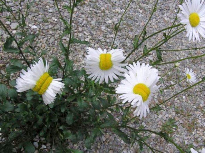 margherite-deformate-mutanti-radiazioni-fukushima-fiori-1