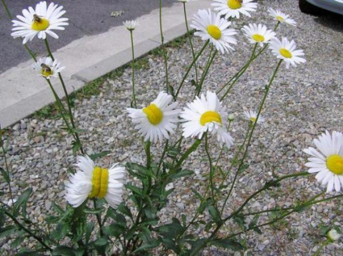 margherite-deformate-mutanti-radiazioni-fukushima-fiori-2