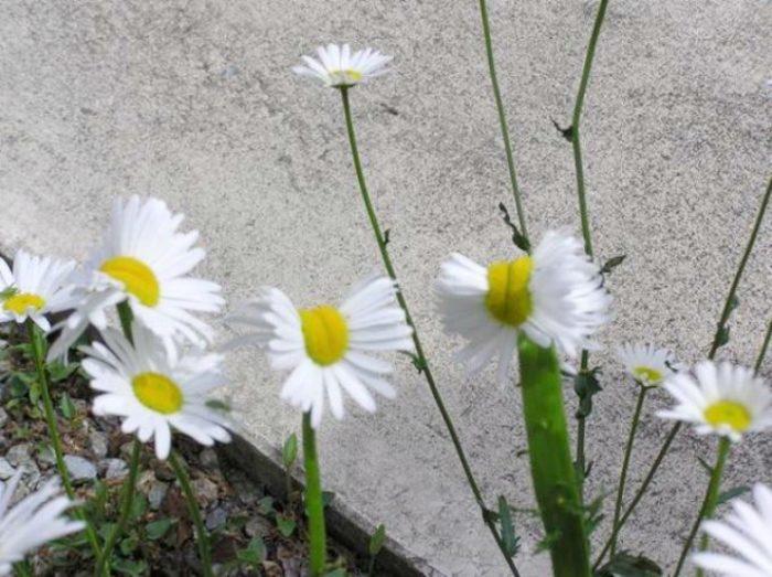 margherite-deformate-mutanti-radiazioni-fukushima-fiori-3