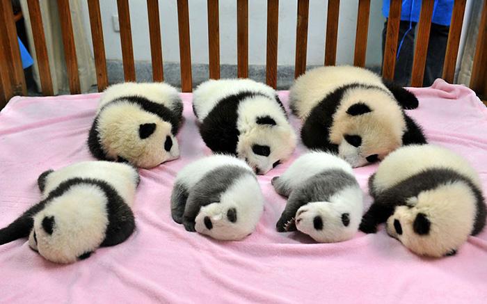 panda-cuccioli-asilo-nido-centro-ricerca-allevamento-Chengdu-cina-01