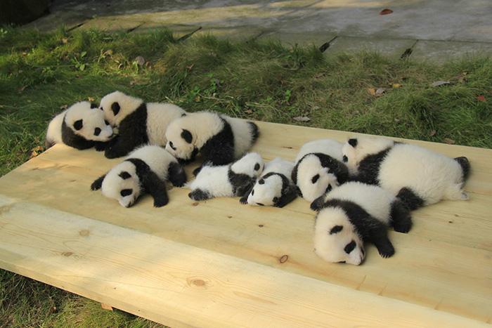 panda-cuccioli-asilo-nido-centro-ricerca-allevamento-Chengdu-cina-04