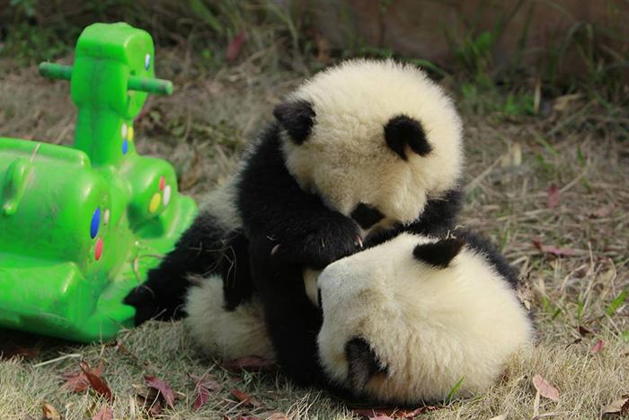 panda-cuccioli-asilo-nido-centro-ricerca-allevamento-Chengdu-cina-05