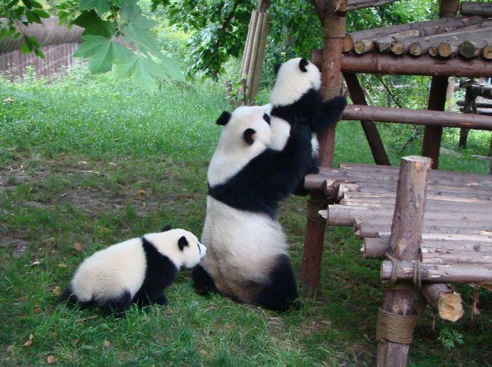 panda-cuccioli-asilo-nido-centro-ricerca-allevamento-Chengdu-cina-06