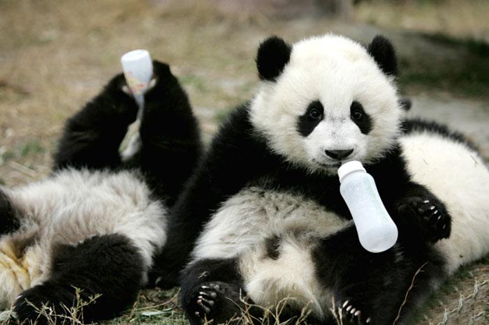panda-cuccioli-asilo-nido-centro-ricerca-allevamento-Chengdu-cina-08