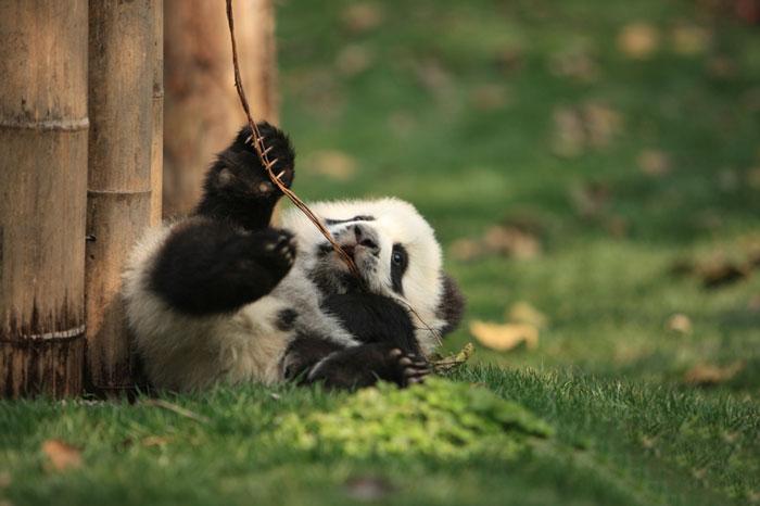 panda-cuccioli-asilo-nido-centro-ricerca-allevamento-Chengdu-cina-09