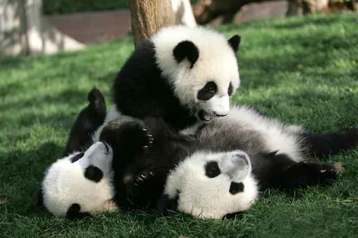panda-cuccioli-asilo-nido-centro-ricerca-allevamento-Chengdu-cina-10
