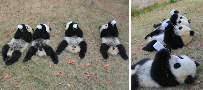 panda-cuccioli-asilo-nido-centro-ricerca-allevamento-Chengdu-cina-11