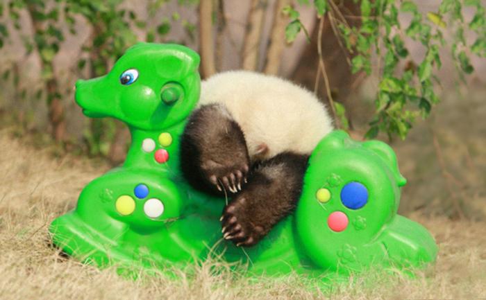 panda-cuccioli-asilo-nido-centro-ricerca-allevamento-Chengdu-cina-12