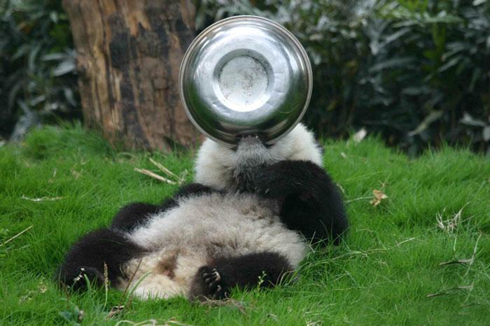 panda-cuccioli-asilo-nido-centro-ricerca-allevamento-Chengdu-cina-13