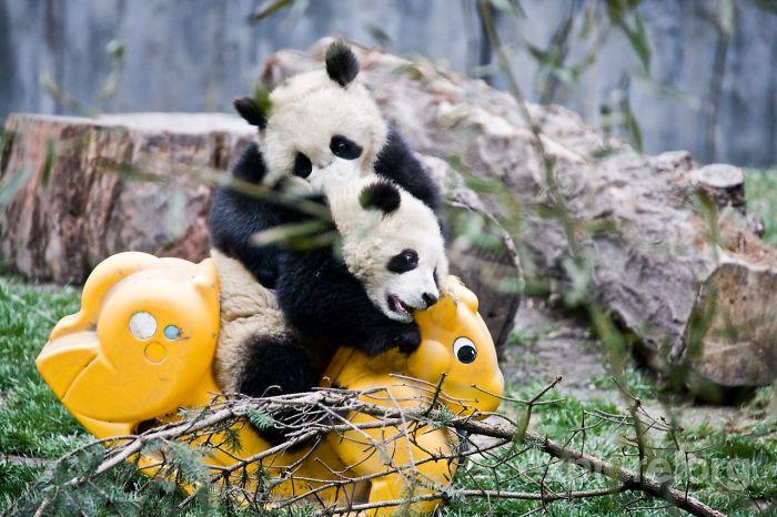panda-cuccioli-asilo-nido-centro-ricerca-allevamento-Chengdu-cina-16