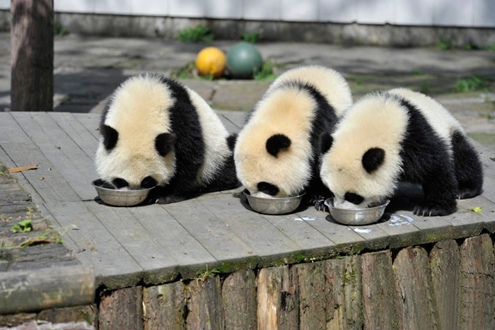 panda-cuccioli-asilo-nido-centro-ricerca-allevamento-Chengdu-cina-18
